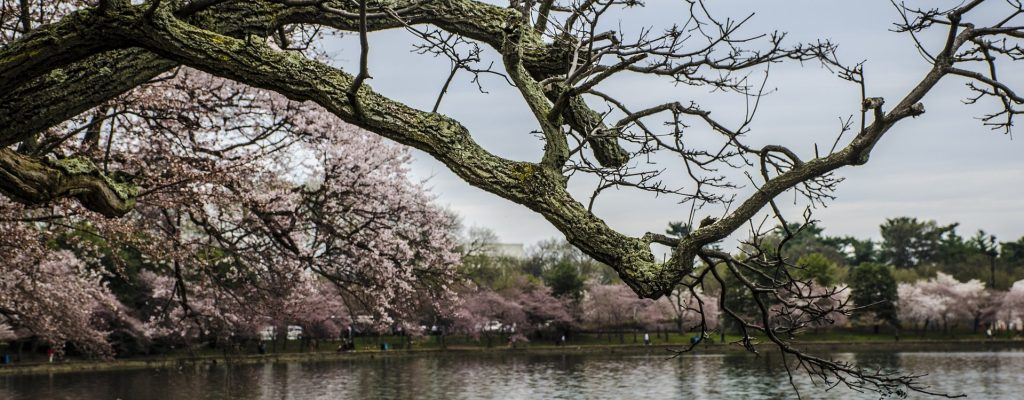 Cherry Blossoms in Washington DC - GoodwillCarDonation.org