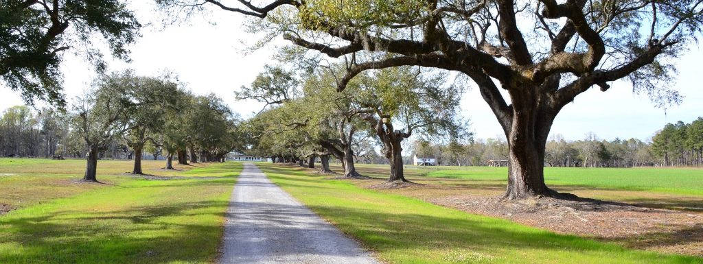 Oak Trees in South Carolina - GoodwillCarDonation.org