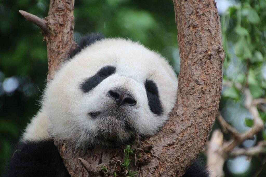 Critically Endangered Panda Bear   Goodwill Car Donation