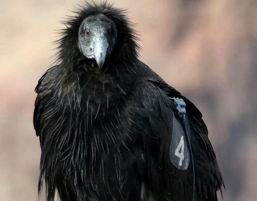 California Condor | Goodwill Car Donations