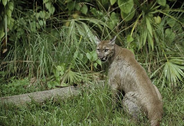 Florida Panther | Goodwill Car Donations