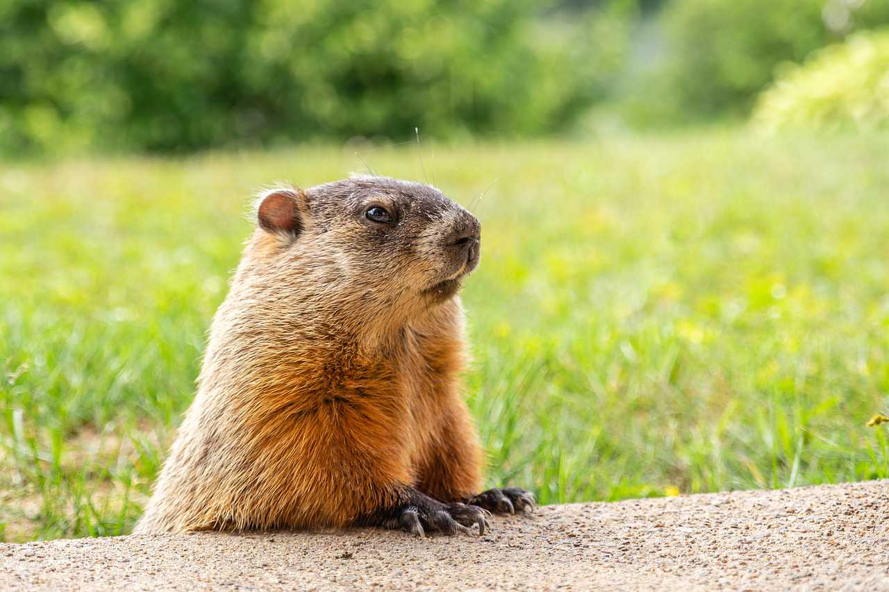 Groundhog in Nature | Goodwill Car Donations