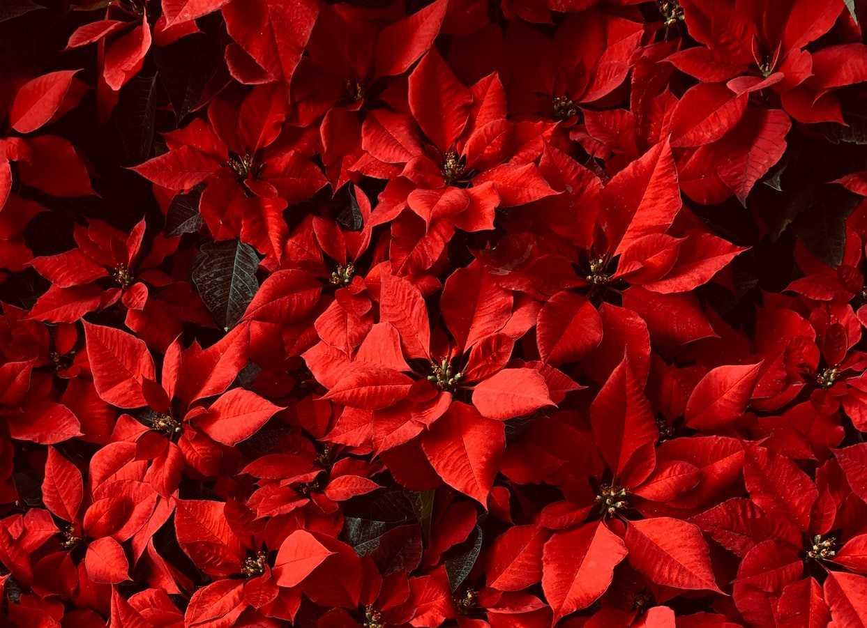 Fresh Poinsettias | Goodwill Car Donations